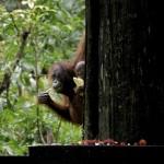 9_Borneo